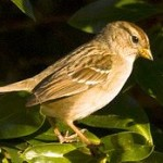 House Sparrow - Man's Forgotten Companion